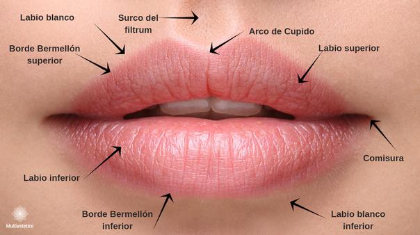 Anatomía de los labios